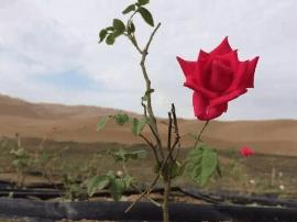 鄯善县:沙漠里的玫瑰,没有什么不可能