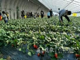 即墨一草莓农场半天接待300多人 吃掉近500斤
