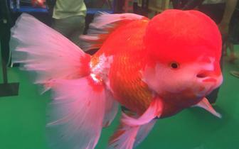首届中国(福州)世界金鱼大赛 众多高颜值金鱼亮相