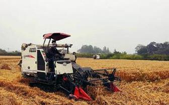 苏州市小麦大面积开镰 比去年增产一成以上
