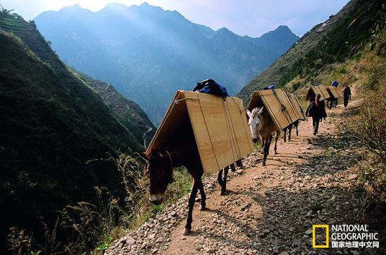 即使在今天,人们仍然要借助骡马在香格里拉的深山里运送物资(国家地理中文网2014年7月)