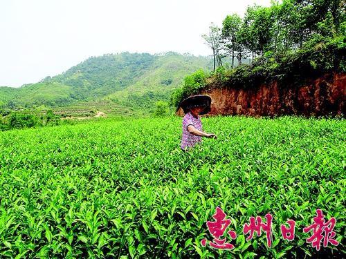 惠东大岭文布村村民拓宽农业生产路 荒山变茶园
