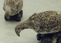 科学家用艾草榛鸡标本制作机器人进行公鸡交配实