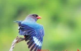 明溪境内九个乡镇发现有三宝鸟繁殖种群