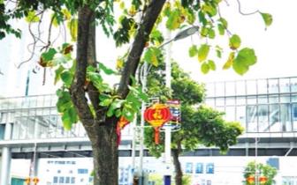 东街口百年柚木再现枯叶 园林局:将加强巡查