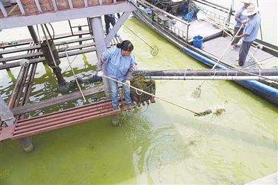 太湖|夏季无锡太湖淡黄色蓝藻泛滥 与水环境污染有关吗?