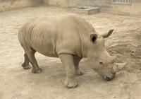 雄性北方白犀牛要死绝 专家拿冷冻精子帮雌性怀
