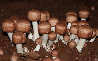 琼中什运乡蘑菇种植合作社吸纳87户贫困户入社发展