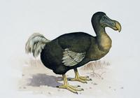 复活渡渡鸟比复活恐龙更现实,未来或可借助克隆