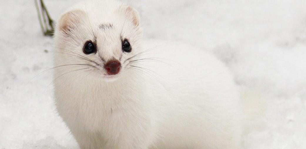 双语阅读:气候变化惹的祸 白毛动物恐将灭绝