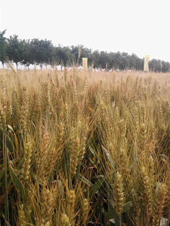 杂交水稻解决了中国人吃饭问题 杂交小麦现也来了
