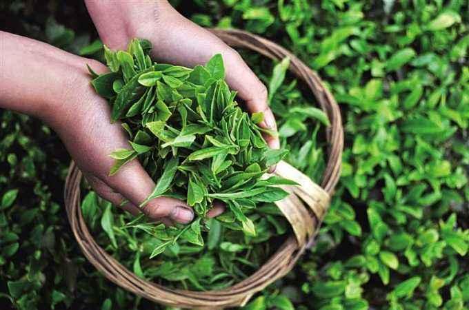 """惠东茶业行业协会成立 将打造""""中国有机茶叶之乡"""""""