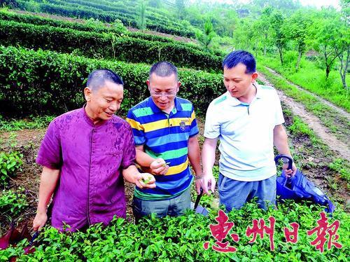 惠州茶文化促进会会长丘燕伦致力推广茶文化10余年