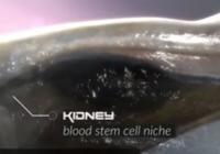 人类的造血细胞为什么长在骨髓里?