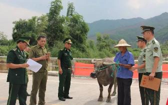 垌中一水牛被跨国盗卖 防城警方合成作战一星期找回