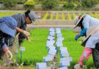 """中国首批""""海水稻""""明年诞生 预计2020年大范围"""