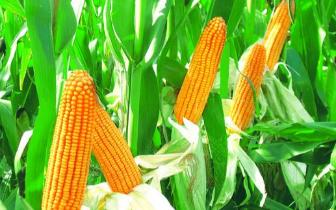 农业科普小知识:玉米倒伏的补救措施!