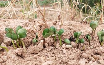 农家自种绿豆芽种一次却有2种吃法 涨知识了