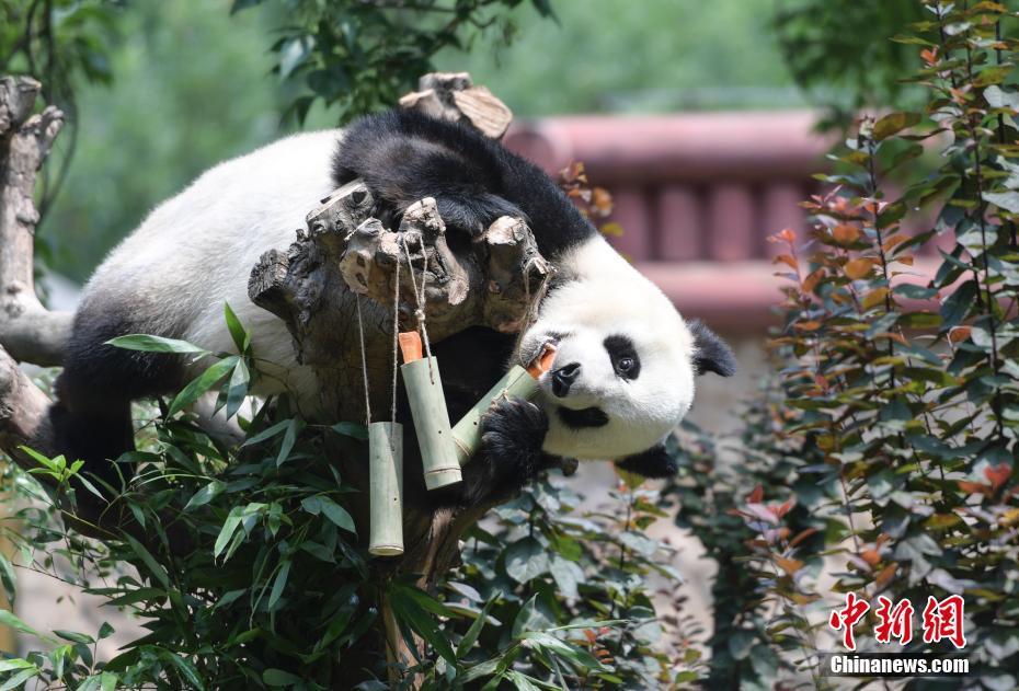 """动物园里迎端午 大熊猫爬上爬下吃""""粽子"""""""