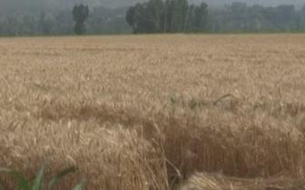 黎城:夏收开镰 小麦喜获丰收