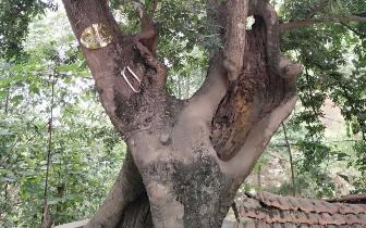 南余店乡人杰地灵好风光 七百年的皂荚树枝繁叶茂