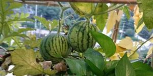 精致!四川一高校男生在寝室种起了西瓜