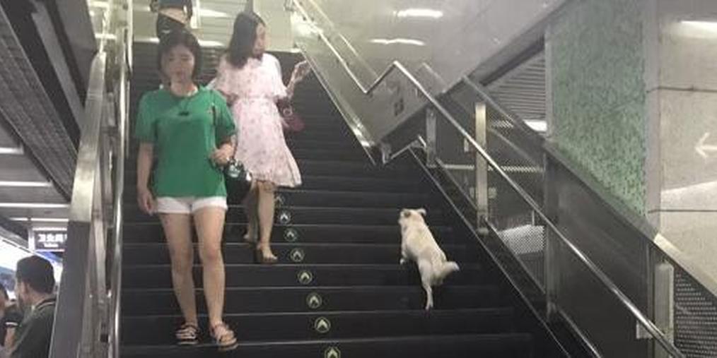 小白狗误入地铁站 身旁无主人