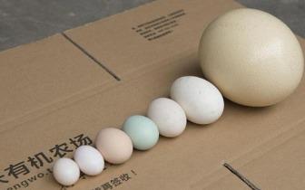 炒鸵鸟蛋有窍门 关键在破壳!