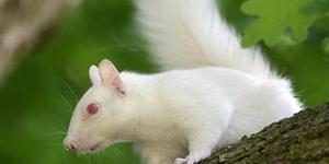 松鼠也有白化病:全英仅剩50只