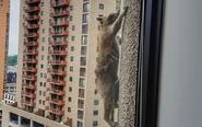 美国浣熊攀高楼成网红