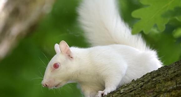 松鼠也有白化病:雪白松鼠全英仅剩50只