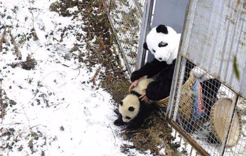 国家级大熊猫保护研究重点实验室落户四川