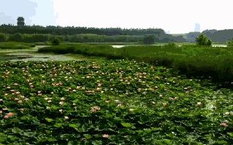 三门峡:湿地公园200多亩荷花全部盛开,约起来!