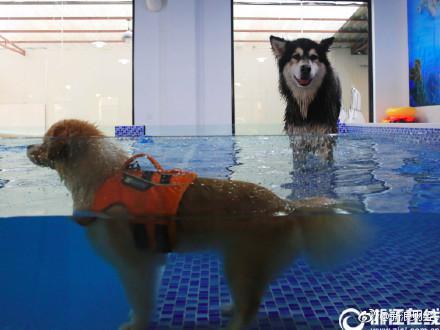 今日之声:暑天宠物泳池走俏,208元游一次