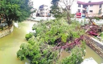 福州打铁港河清代古桥旁 大树倒伏堵河道