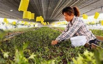 唐山:铁皮石斛花开助力市民增收