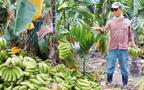 台湾蕉农的焦虑不是天灾而是人祸