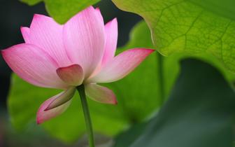 图说桂林 夏日荷花初绽放  美到一个都不想错过!