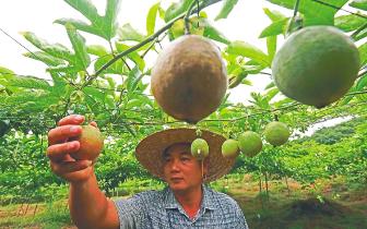 海南琼中百香果园硕果累累 亩产达2000多斤