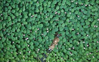 唐山:千余亩鱼塘变荷塘 带火乡村游