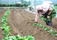 90后大学生返乡带领村民种地瓜:全村实现脱贫