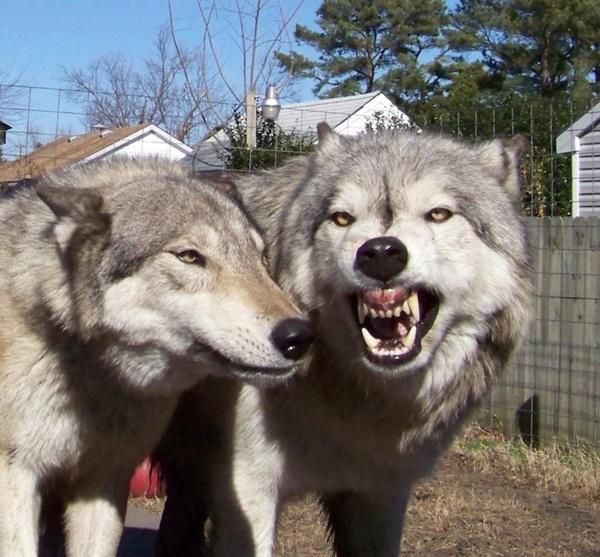为何狗狗的冲突难以和解?驯养让它们失去团队意识