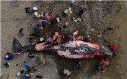 俄远东原住民捕猎屠宰灰鲸