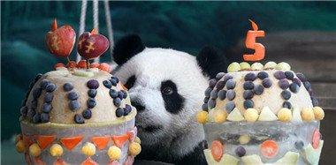"""熊猫""""圆仔""""台北庆祝5岁生日 园方办热闹派对"""
