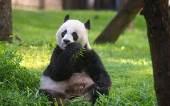 """华盛顿大熊猫美香又""""假孕"""" 网友:心碎但理解"""