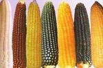美国玉米大豆油菜转基因普及率超90%