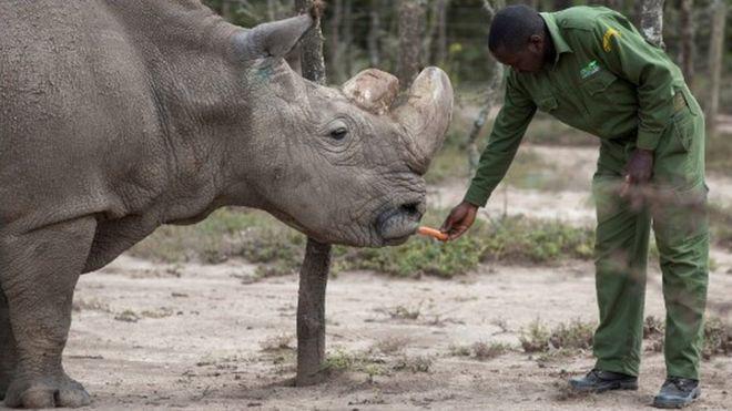 全球剩两头雌性北白犀 科学家想让它们传宗接代