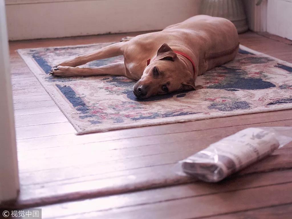 罗得西亚脊背犬,背部的带状脊椎突起非常醒目