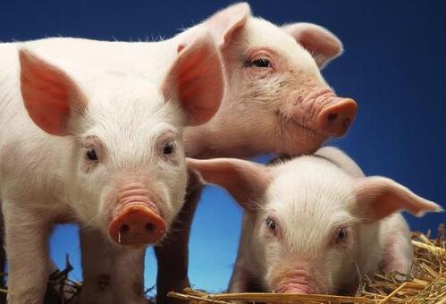 农业农村部:全年猪价或总体处于下降通道