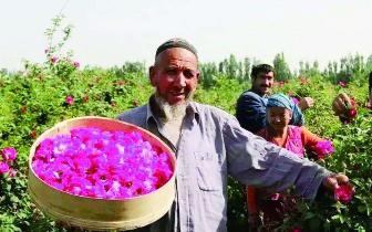 霍城县两万亩红花进入采摘期 采花大军蜂拥而至